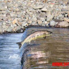 Foto de un salmón nadando a contracorriente
