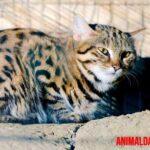 El felino más mortífero y letal del mundo: conoce al Felis nigripes