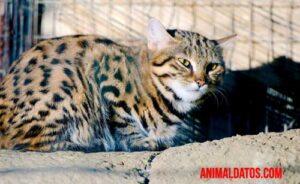 Felis nigripes el felino más mortifero del mundo