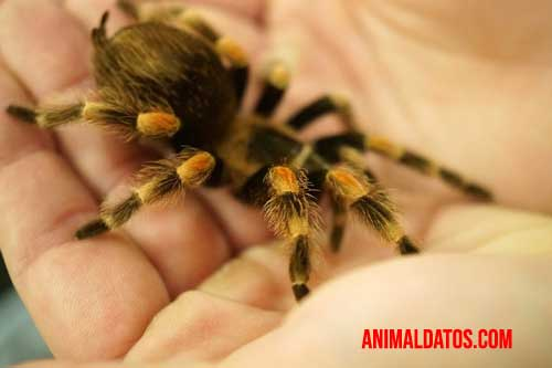 araña mascota