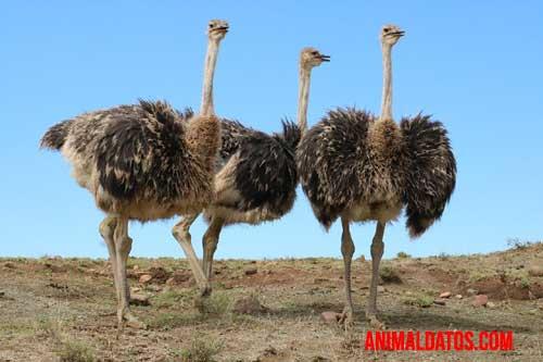 avestruz en dos patas