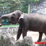Todo sobre el elefante de Sumatra: características, hábitat y alimentación