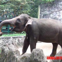 El elefante de Sumatra se encuentra al borde de la extinción.