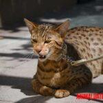 El gato Ashera: características, cuidados y la fascinante historia del felino más caro del mundo