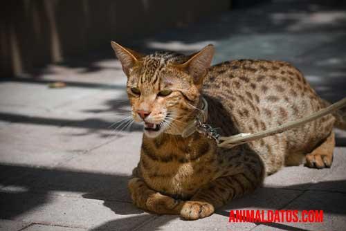 El gato Ashera llegó a tener precios muy altos.