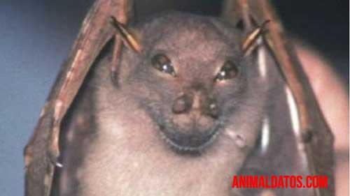 El murciélago yoda parece siempre estar sonriendo