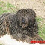 Todo sobre el perro pastor de bergamasco: características físicas, carácter y cuidados básicos