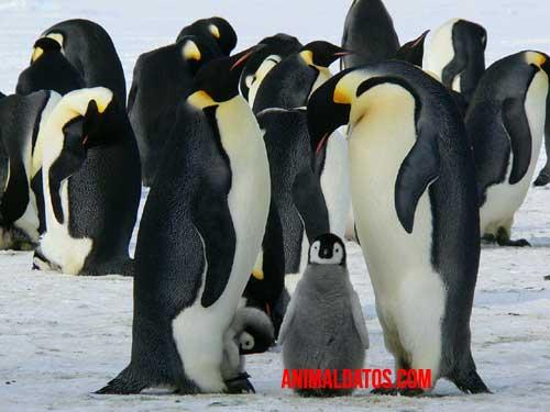 pingüino de pie