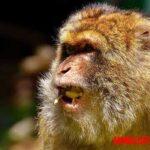¿Los monos pueden llegar a hablar? Científicos descubren la respuesta