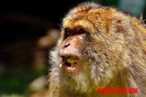 ¿Los monos podrían llegar a hablar en alguna situación?