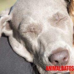 Detecta desde antes la leishmaniosis canina