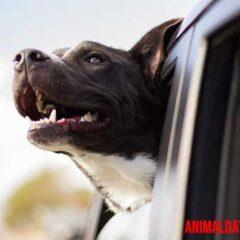 Si tu perro se marea al viajar en coche, prueba estas soluciones