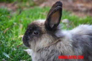 se puede esterilizar un conejo